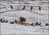 Eagle&Ravens6487_3507
