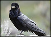Raven6051_2752