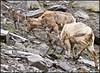 Ewes&Lambs5681_1960
