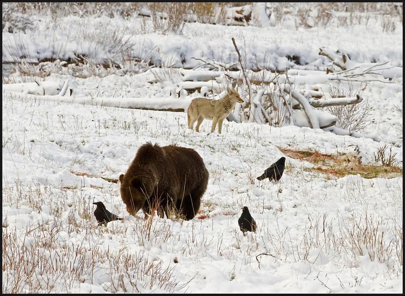Griz&Coyote6428_3448