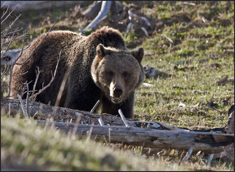 Grizzly5474_2045