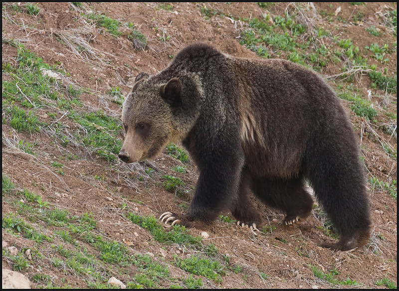 Grizzly5446_2016
