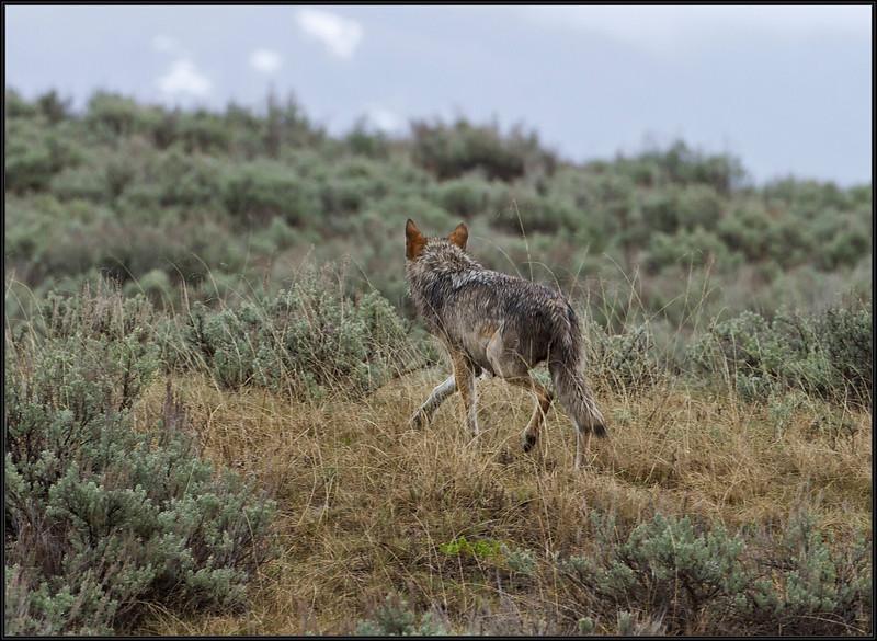 Wolf5293_2116