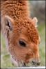 BabyBison6079_2779