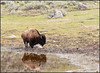 BisonReflection3308