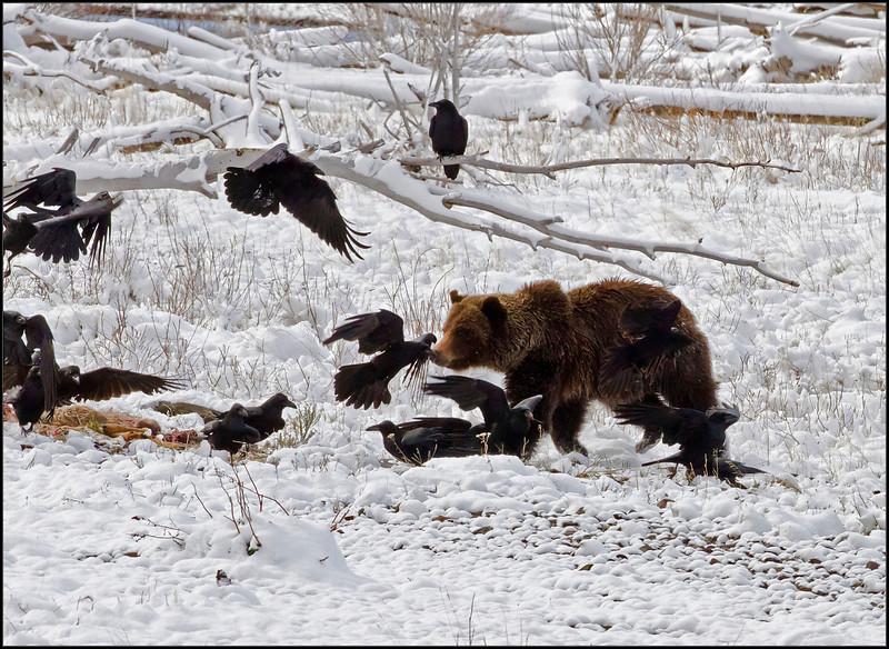 Griz&Ravens6360_3380
