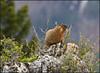 Marmot5524_1803
