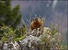 Marmot5525_1804