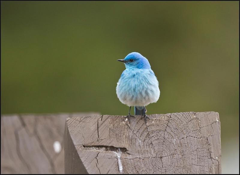 Bluebird5307_2128