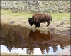 BisonReflection3305