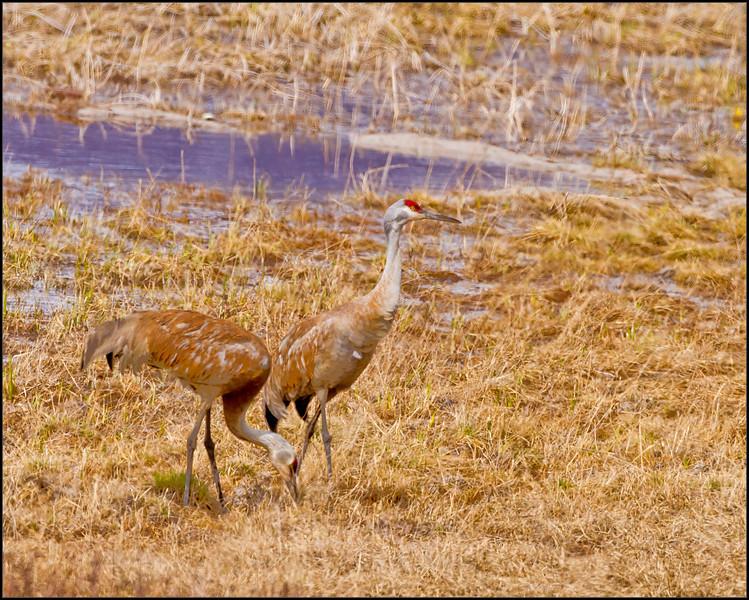 Cranes4606_1687