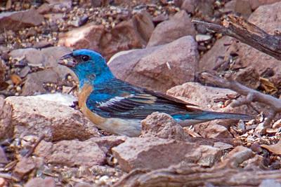 Lazuli Bunting