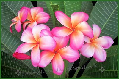 Plumeria Pink - Judith Sparhawk