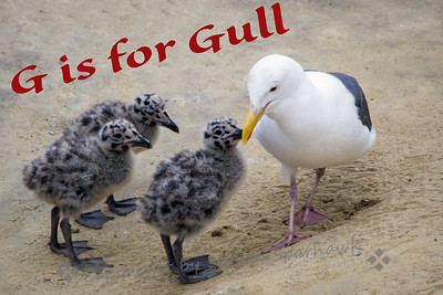 G is for Gull