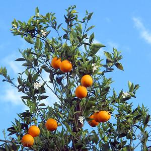 Orange Blossom Time - Judith Sparhawk