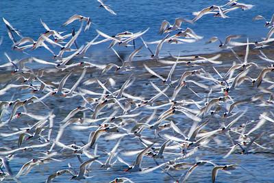 Elegant Tern Chaos - Judith Sparhawk