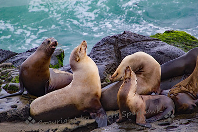 Sea Lion Hang Out - Judith Sparhawk