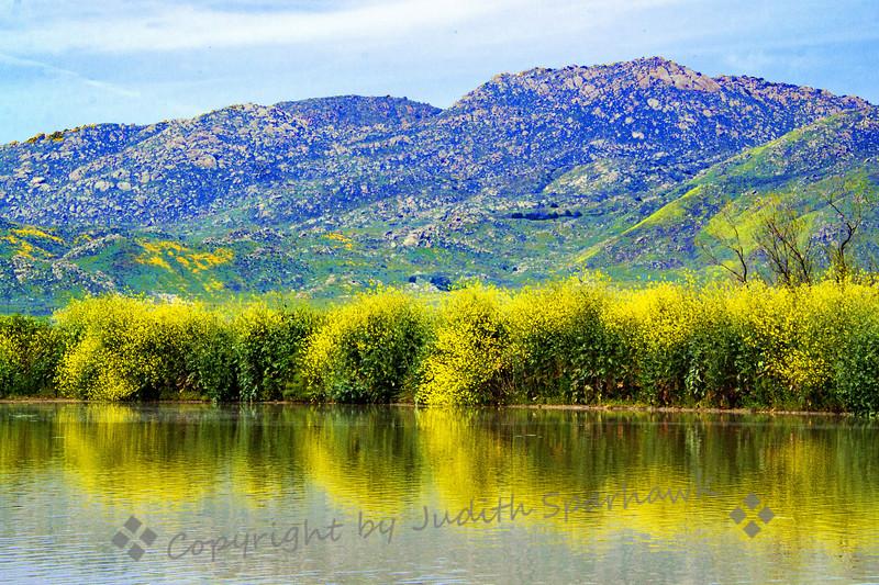 Wild Mustard Reflections