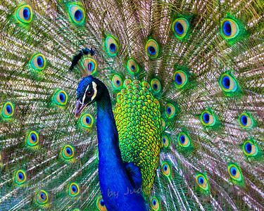 Pride of the Peacock - Judith Sparhawk