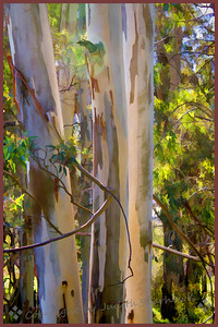 Inside the Eucalyptus Grove
