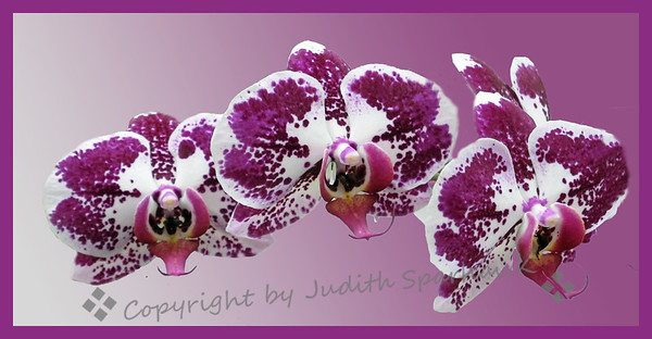 Orchids - Judith Sparhawk