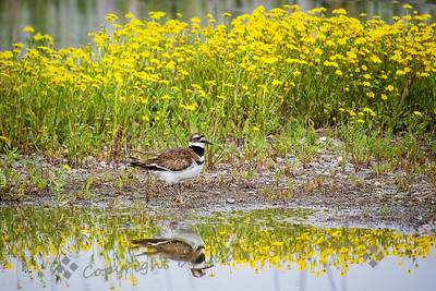 Killdeer in the Flowers - Judith Sparhawk