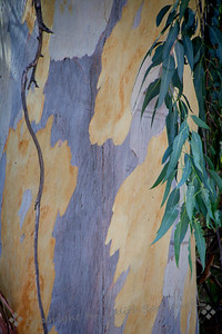 Eucalyptus Abstract