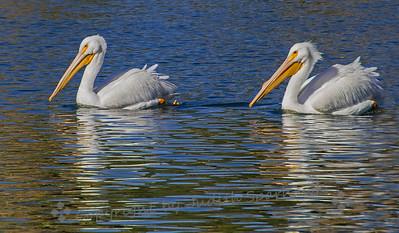 Pelican Duo