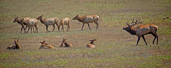 Tule Elk Herd - Judith Sparhawk