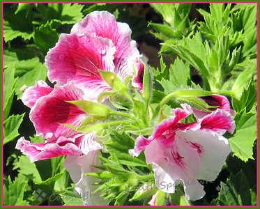 Martha Washington Geraniums - Judith Sparhawk