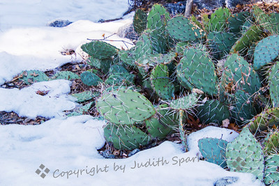 Cactus in the Snow - Judith Sparhawk