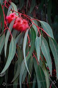 Eucalyptus in Bloom - Judith Sparhawk