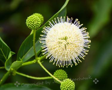 Really Wild Wildflower - Judith Sparhawk