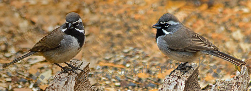 Black-throated Sparrow Duo