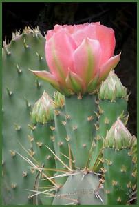 One Pink Blossom - Judith Sparhawk