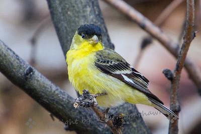 Lesser Goldfinch - Judith Sparhawk