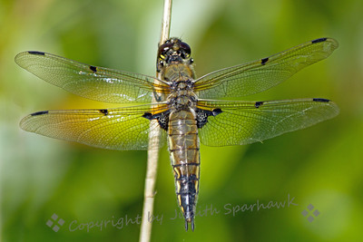 Four Spotted Skimmer -  Judith Sparhawk
