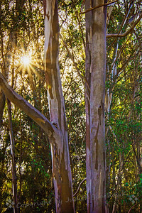 Sunshine in the Eucalyptus Grove - Judith Sparhawk