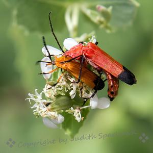 Beetles Making Beetles