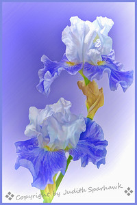 Blue & White -Judith Sparhawk