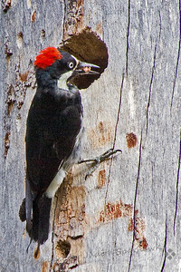 Acorn Woodpecker at Nest
