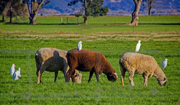 Sheep & Friends