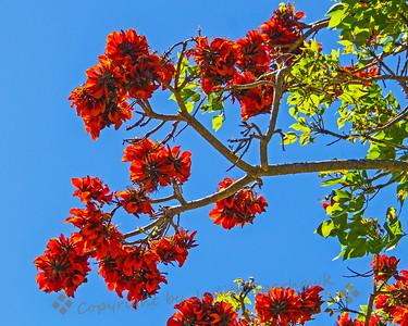 Coral Tree Ablaze - Judith Sparhawk