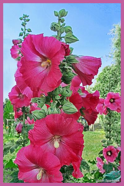 Hollyhocks Pink