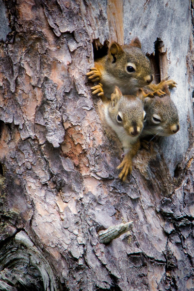 Red Squirrel Babies