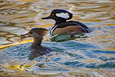 Hooded Merganser Couple - Judith Sparhawk