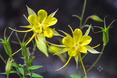 Columbine in Bloom