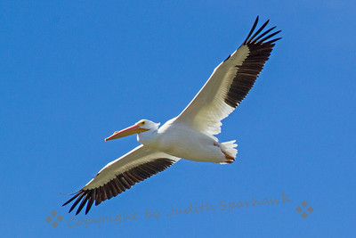 American White Pelican - Judith Sparhawk