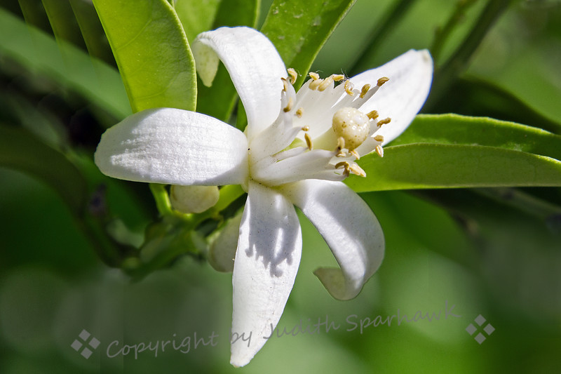 One Orange Blossom