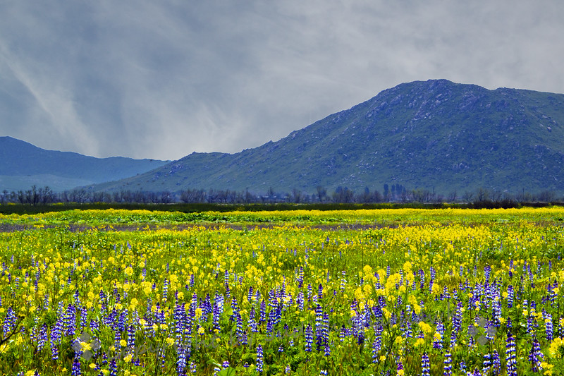 The Lupine Fields